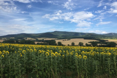 Sunflowers in Poland
