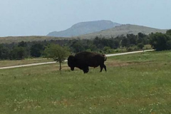 Day 11 - Austin to Wichita Falls - Cattle